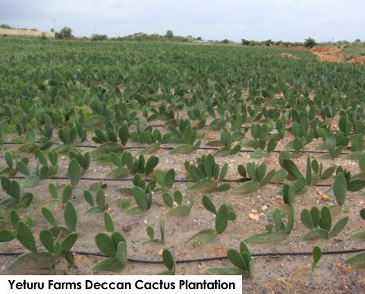 Yeturu Farms Cactus Plantation (1)