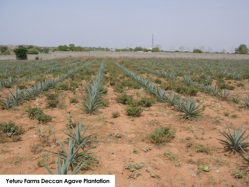 Yeturu Farms Agave Plantation (1)