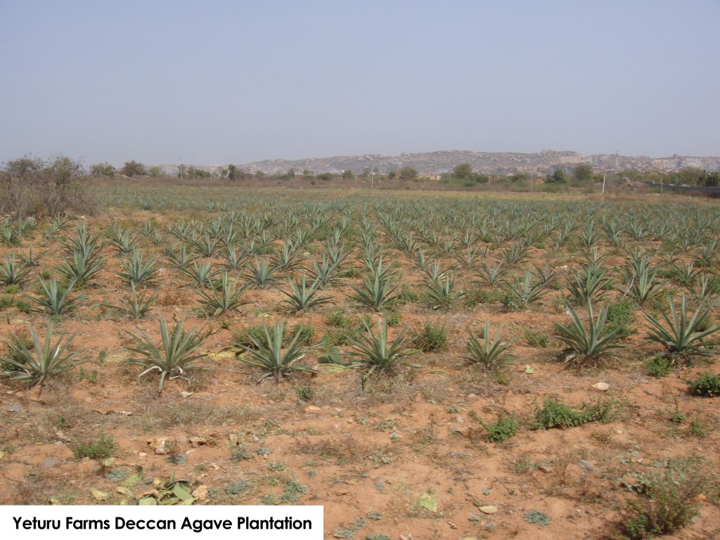 Yeturu Farms Agave Plantation (2)