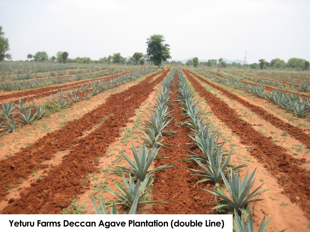 Yeturu Farms Agave Plantation (double line)