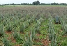 Yeturu Farms Deccan Aloe Vera
