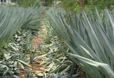 Yeturu Farms Deccan Agave Sisal