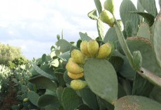 Yeturu Farms Deccan Cactus Fruit