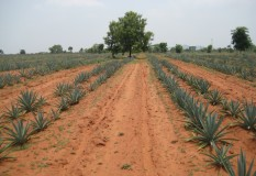 Yeturu Farms Deccan Agave